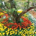 桜の名所亀池公園 チューリップ開花