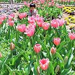 緑花センター チューリップ 今週末まで