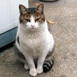 猫(サバトラ白、オス、去勢手術済、口の左上にグレーのほくろの様な点がある、鼻はピンク、首輪無し)がいなくなりました。