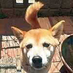 犬(柴犬ミックス、メス、茶色、痩せ型、12歳、首輪はベージュ、赤のハート柄)