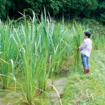 旬です マコモタケ 栽培手軽な食感良い食材 耕作放棄地対策に期待