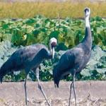 ナベヅル 紀の川流域で確認 絶滅危ぐの渡り鳥 越冬に期待