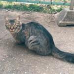 猫(灰色のトラ猫、尻尾は少し太い、メス、首輪無し、成猫)を保護