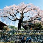 CLASSIC WAKAYAMA VOL.13 Sakura