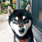 柴犬(メス、黒色、体長50㌢、体重6㌔、体は小さい、名前ははな、赤い首輪)がいなくなりました