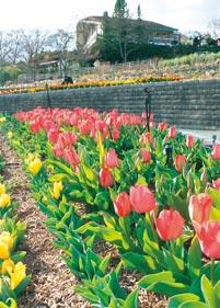 16040289_tulip