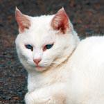 猫(真っ白、5歳位、メス、首輪無し、名前はちゅび)がいなくなりました