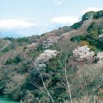 桜の新名所育てませんか