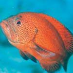 小魚守る赤い支配者