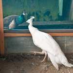 神々しい白クジャク お城の動物園で飼育中