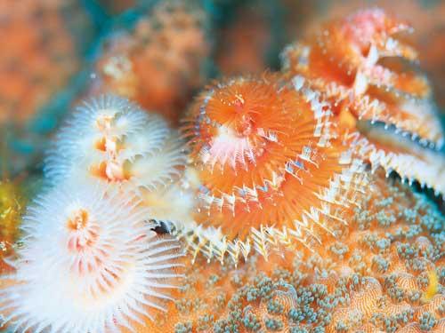サンゴに棲むツリー?