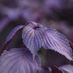高野に伝わる赤紫蘇 特産に