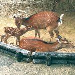 お城の動物園 シカとマーラに赤ちゃん