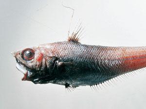 特別展「興味津々!深海魚」