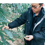 海南で広がるユーカリ栽培