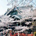 近畿一の早咲き 春告げる紀三井寺の桜