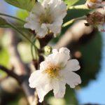 秋なのに桜が開花 !?