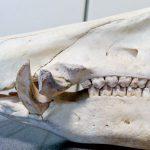 イノシシの牙はどんな形?
