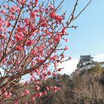 1月に春が来た? 梅、桜に早くも花