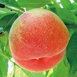 桃山に桃農家 なぜ多い?