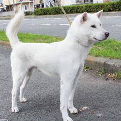 紀州犬は和歌山だけで飼われている?