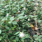 万葉植物散策〜コウヤボウキ