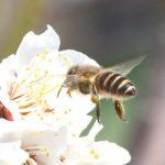 日本ミツバチ 知ってる?
