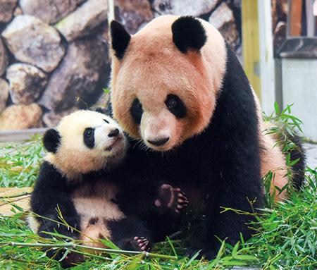 ますますにぎやか パンダ一家 アドベンチャーワールド