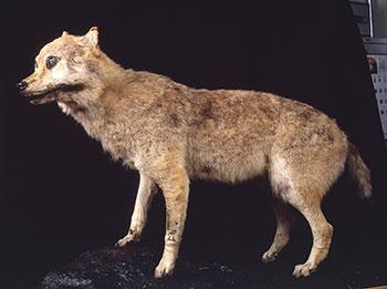 ニホンオオカミ 貴重な剥製