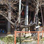 桜の標本木 なぜ紀三井寺に?