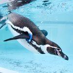 お城の動物園だより① フンボルトペンギン