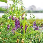 紀の川沿い、紫の花が多いのは?